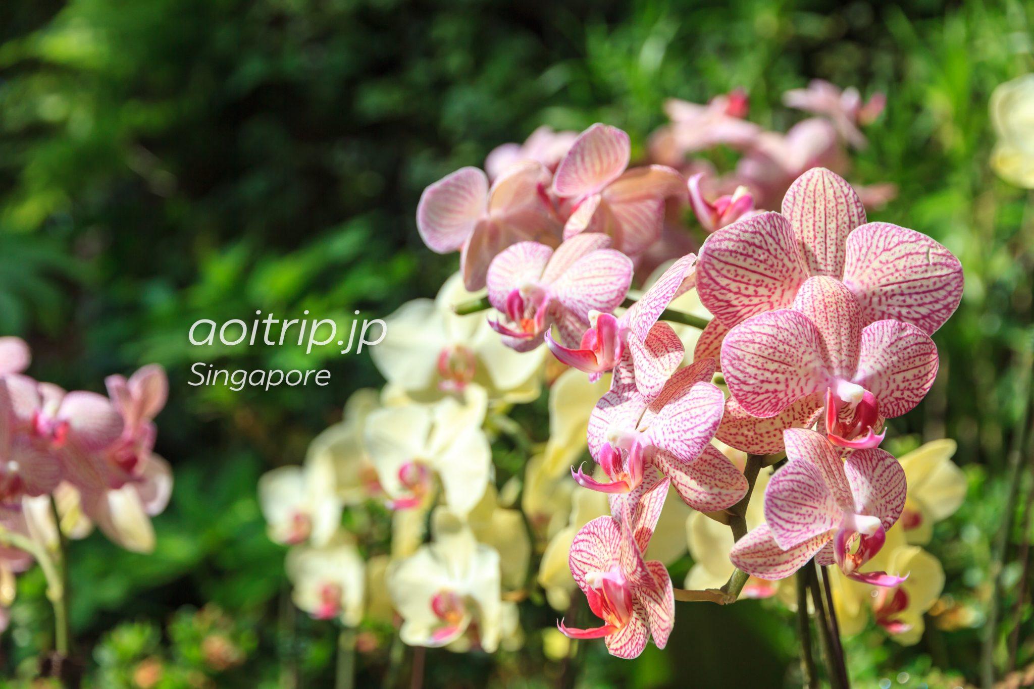シンガポールの国花、蘭(Orchid)の花