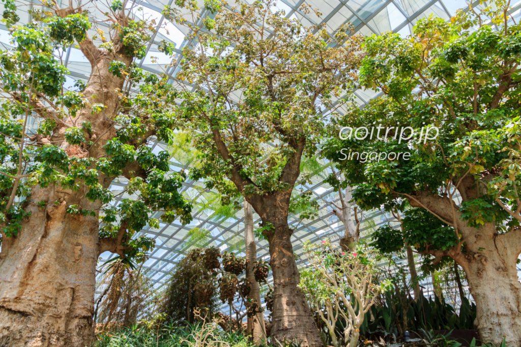 シンガポール バオバブの木