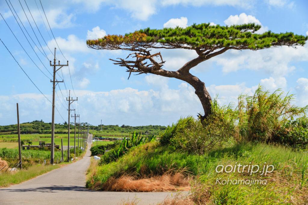 小浜島 シュガーロードの一本松