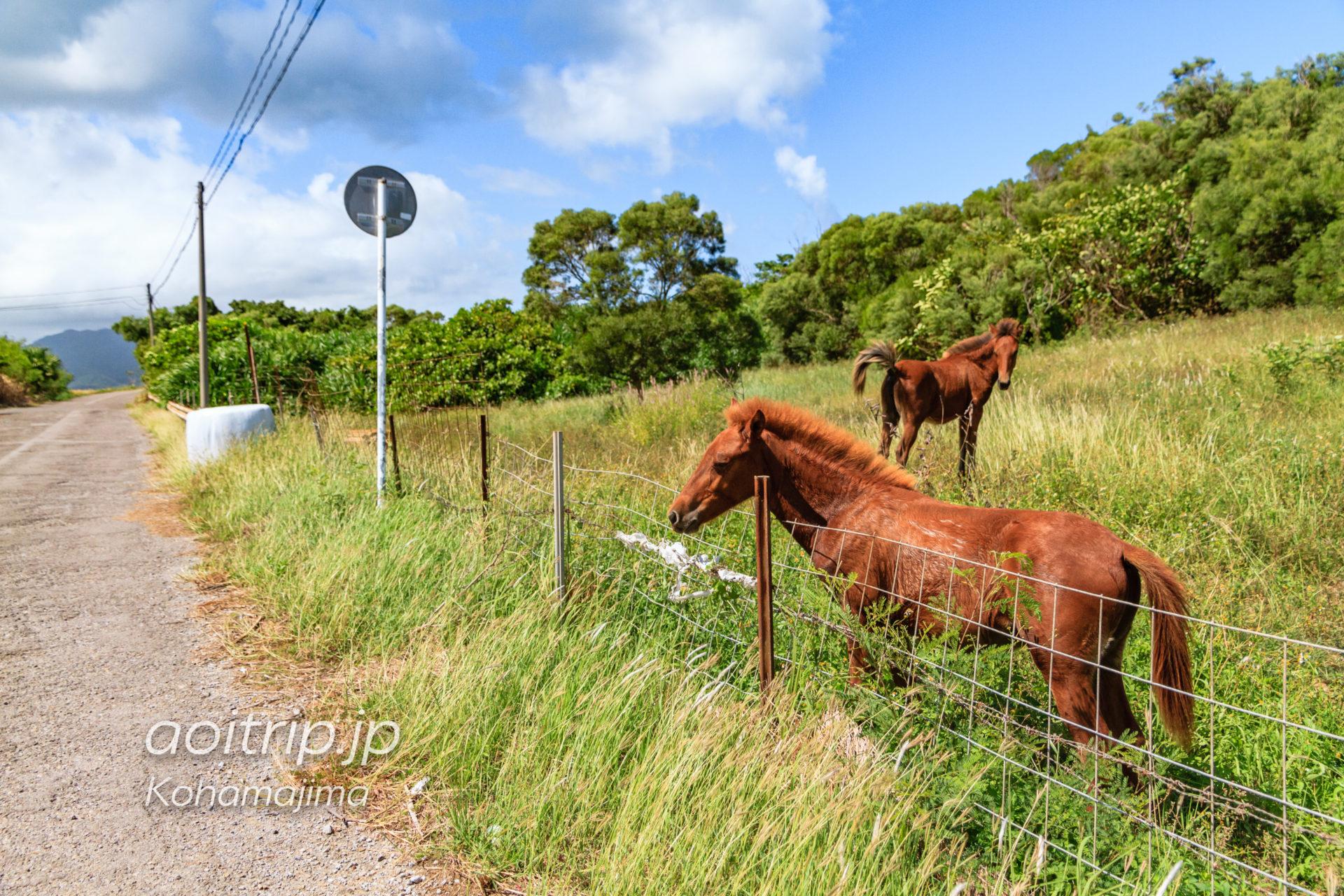 小浜島の馬