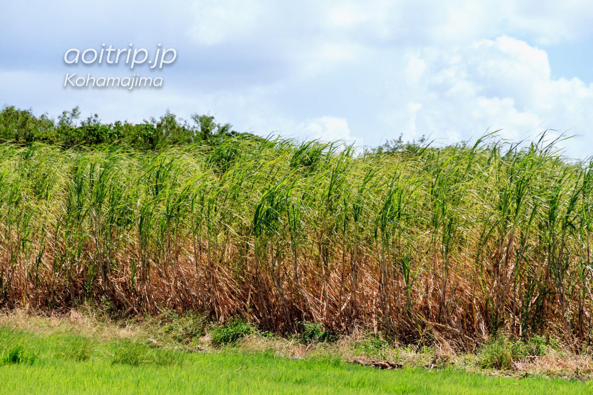 小浜島 サトウキビ畑