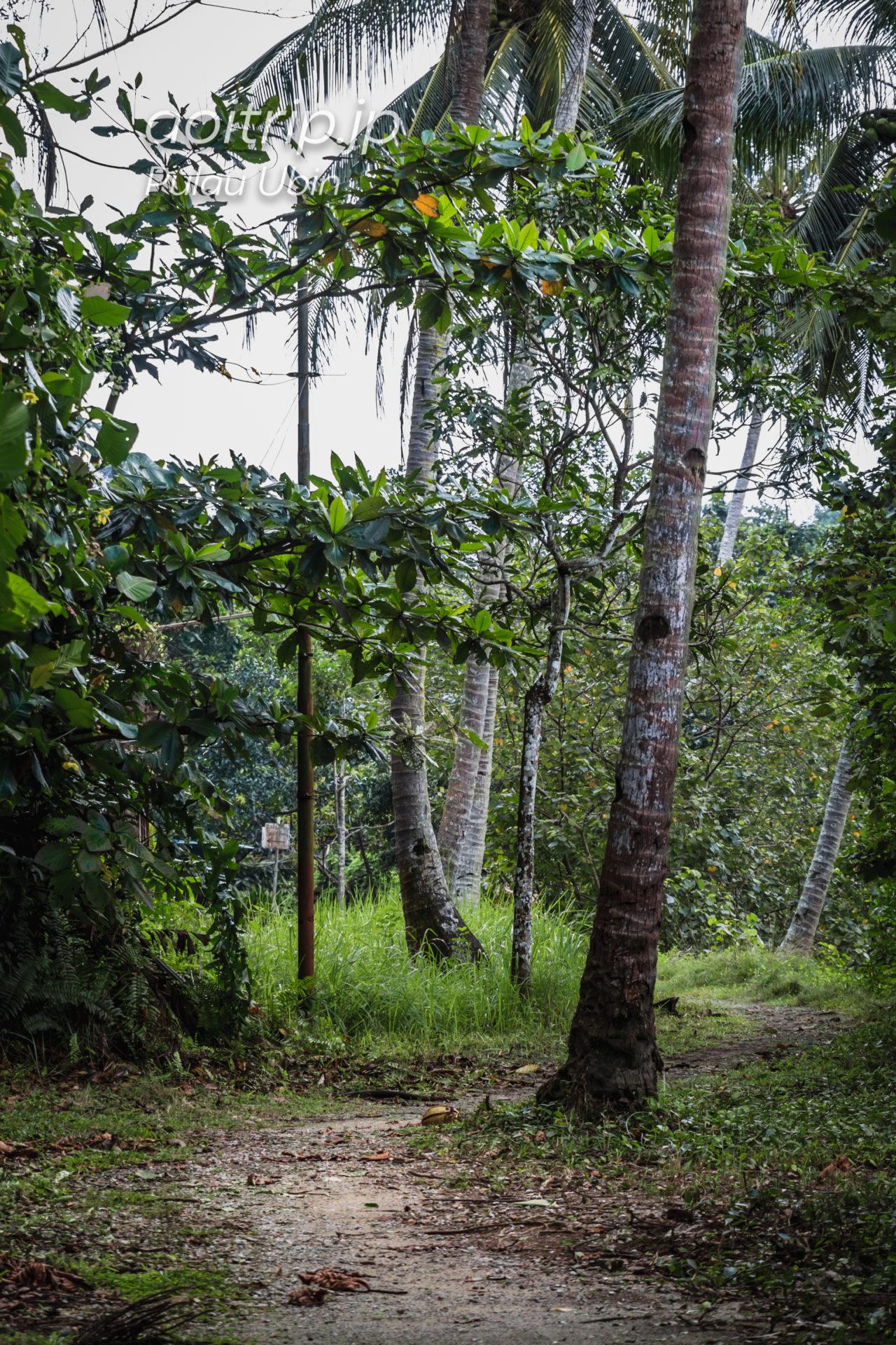 ウビン島の熱帯雨林