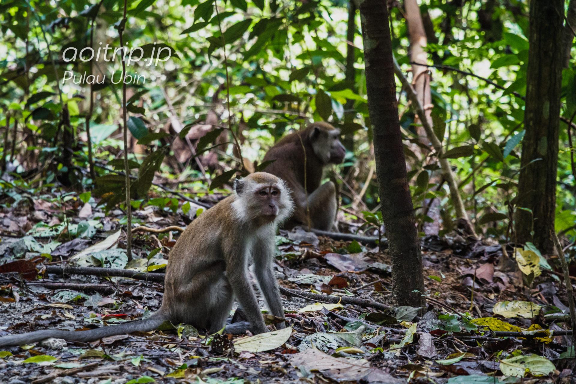 ウビン島に生息する野生の猿
