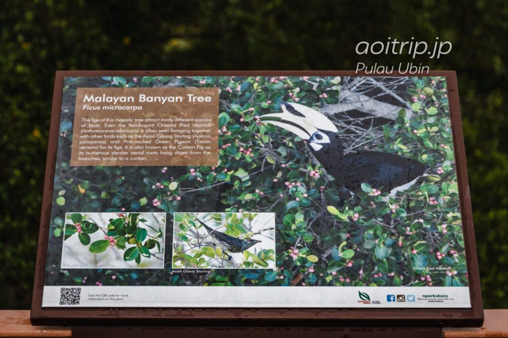 ウビン島 キタカササギサイチョウの案内板