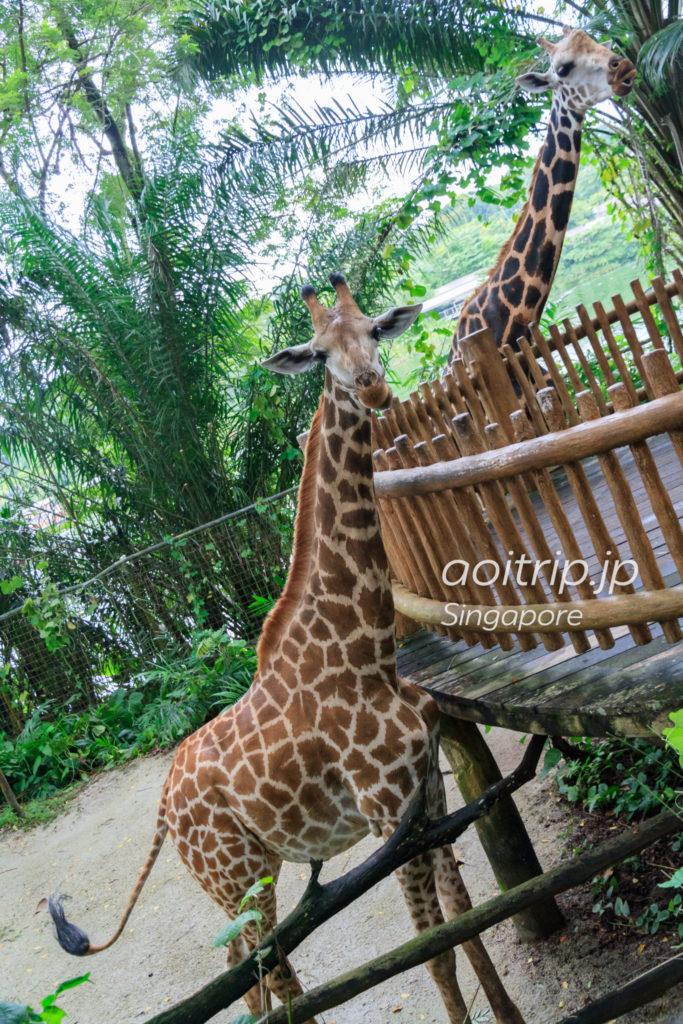 シンガポール動物園のキリン