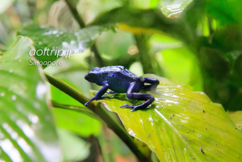 シンガポール動物園 青いカエル