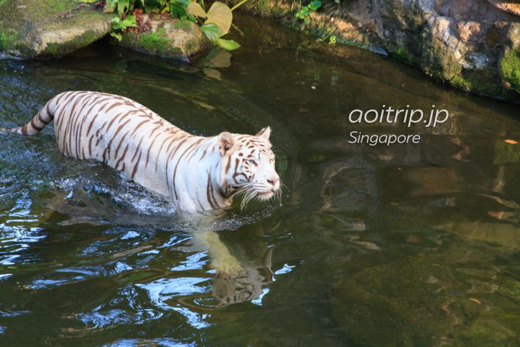 シンガポール動物園のホワイトタイガー