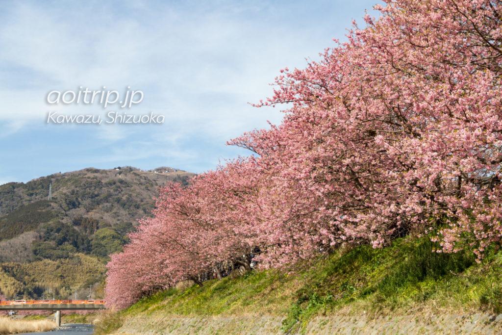 河津川沿いの河津桜並木