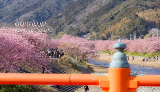 河津桜 Kawazu-Zakura|河津桜まつり
