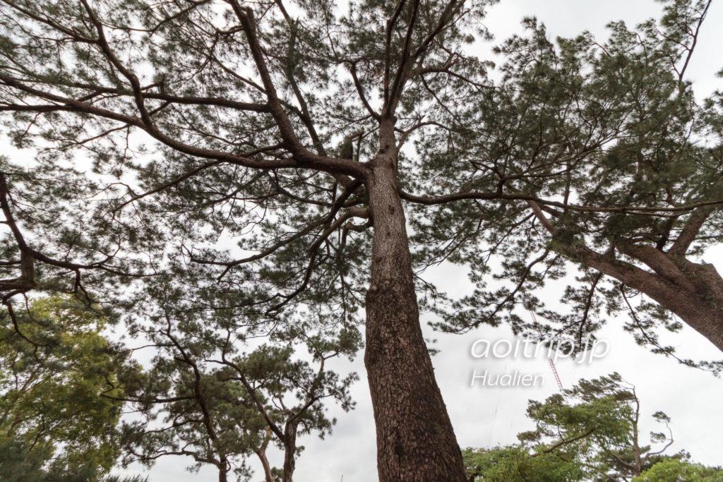 松園別館の琉球松