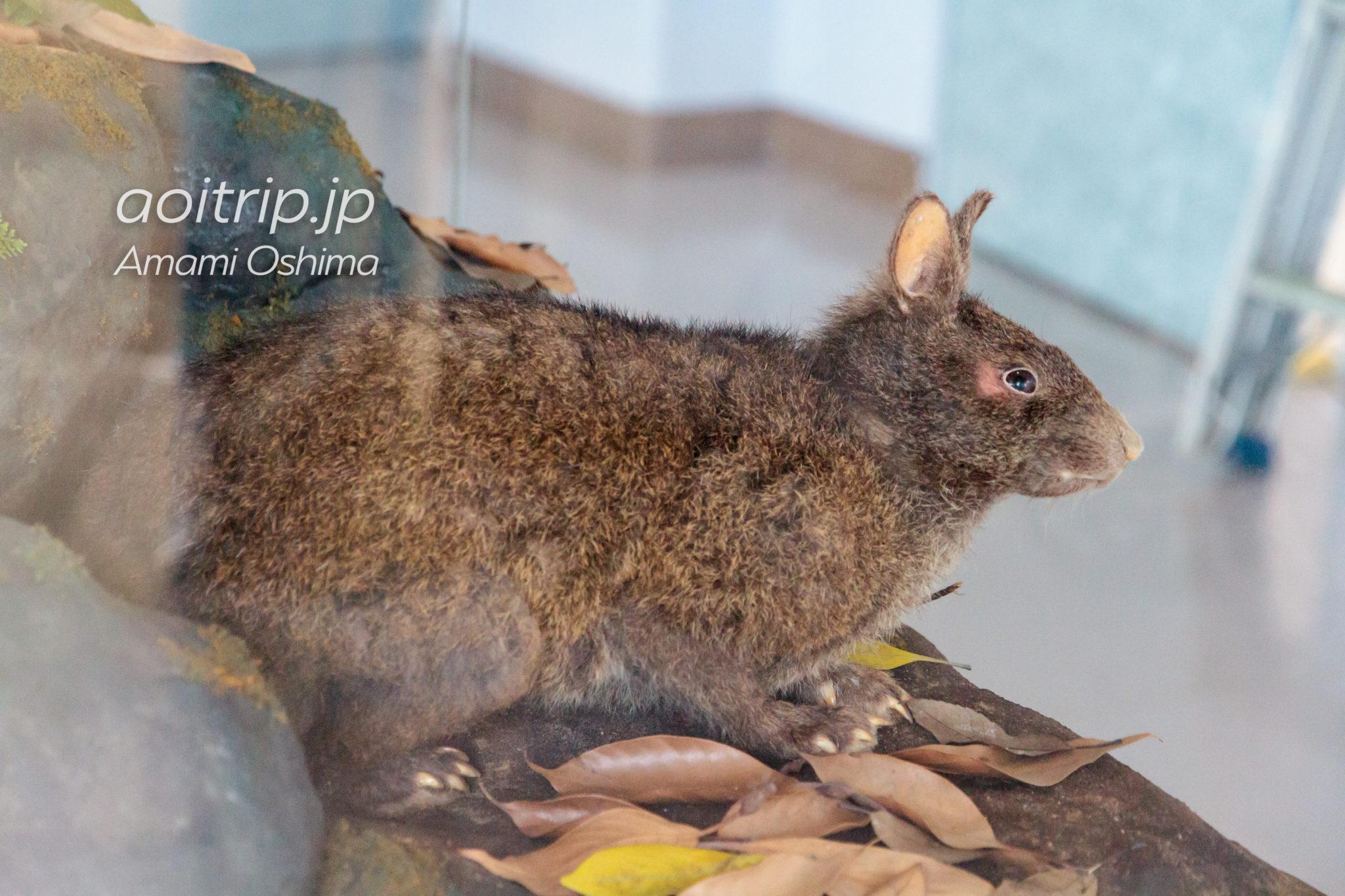 奄美大島 アマミノクロウサギの標本