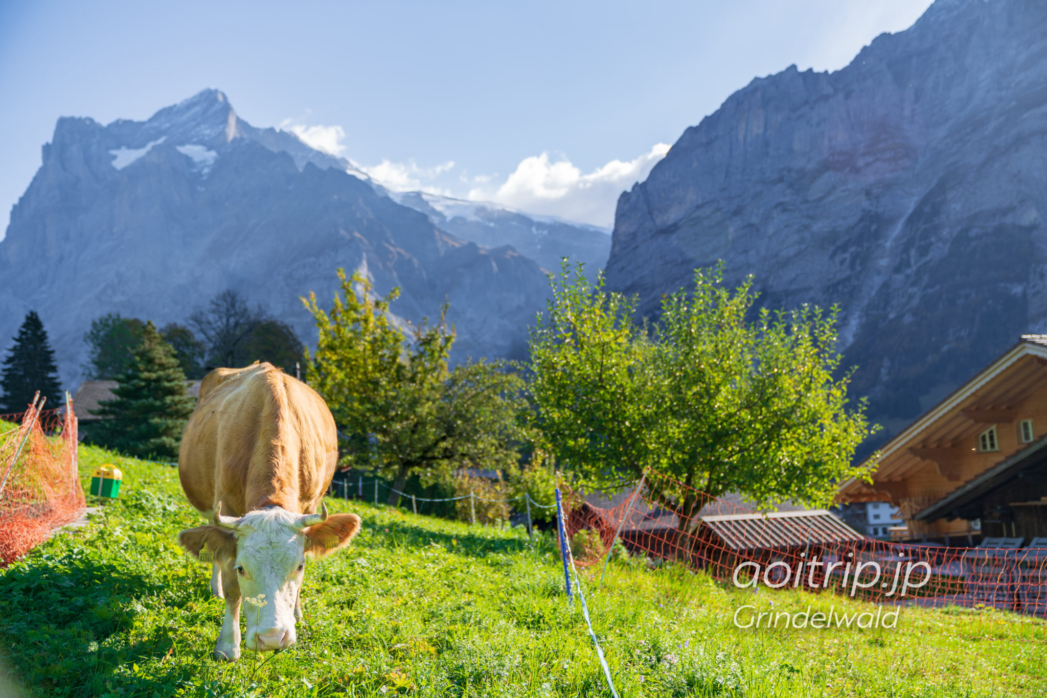 グリンデルワルトの牛