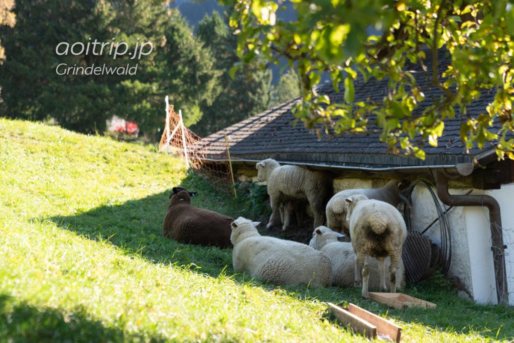 グリンデルワルトの羊