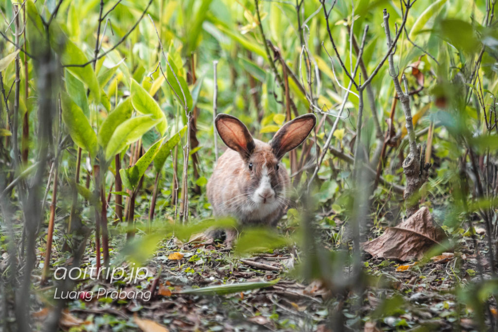 ソフィテルルアンパバーンウサギ「マリー」