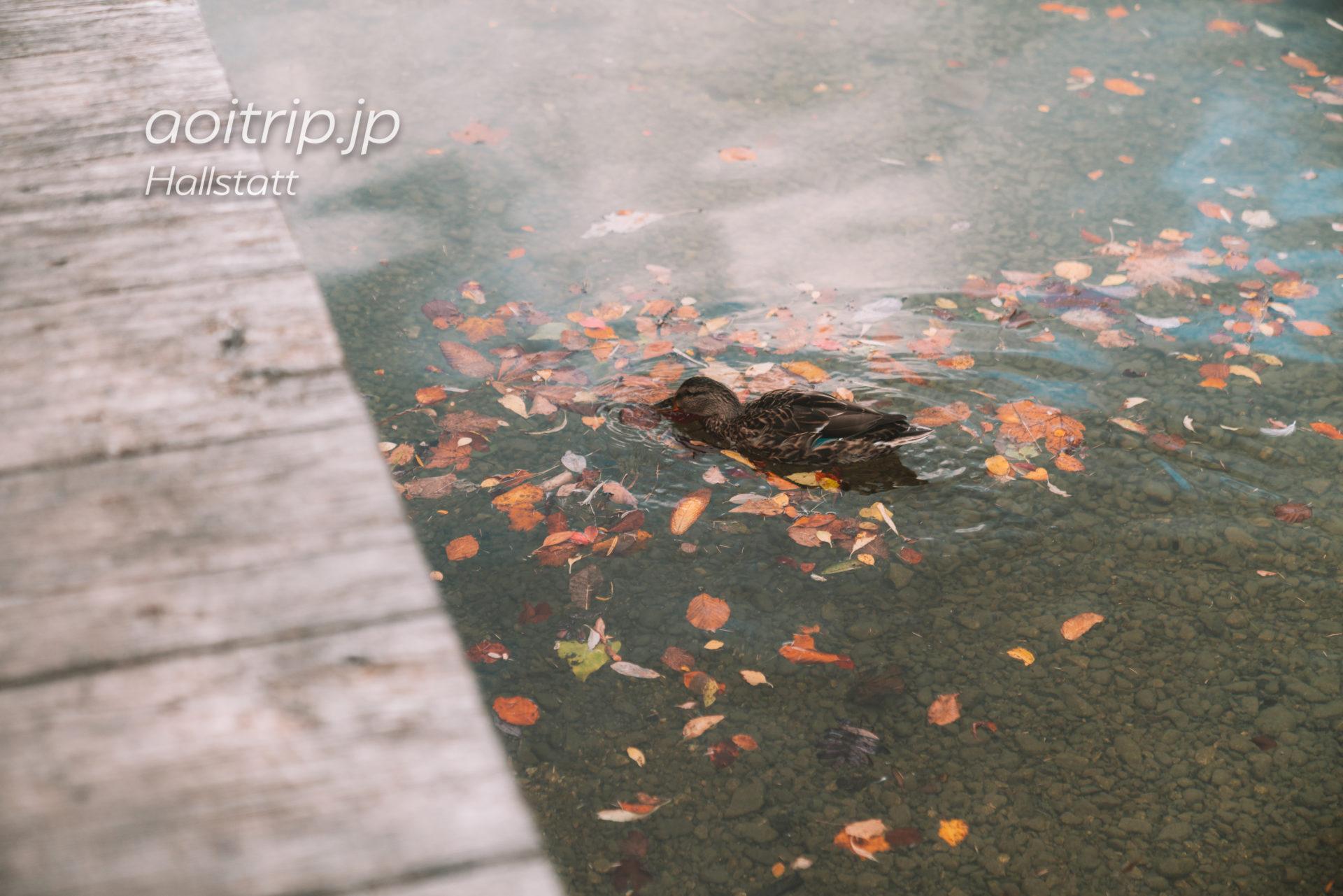 ハルシュタット湖のカルガモ