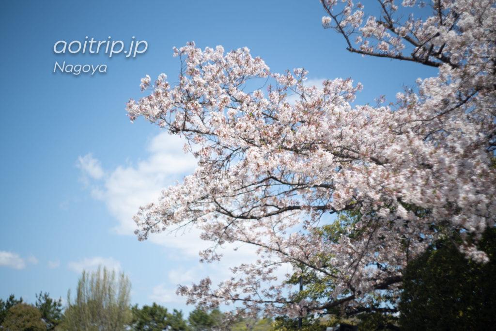 名古屋城 二之丸エリアの桜