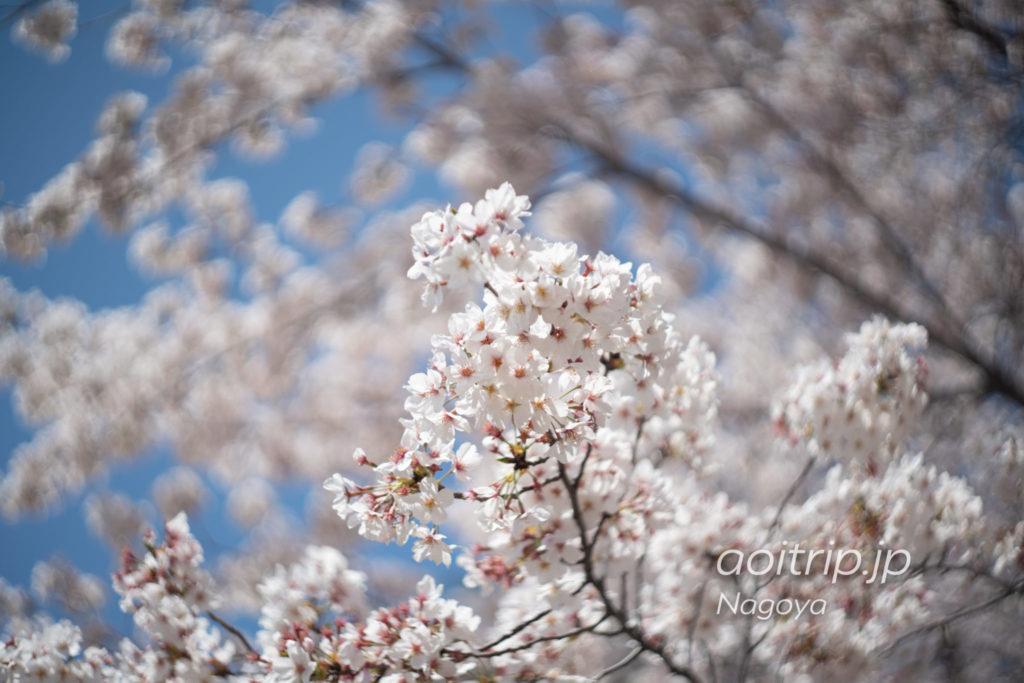 名古屋城 本丸エリアの桜