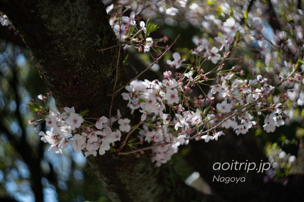 名古屋城の御深井丸にある桜