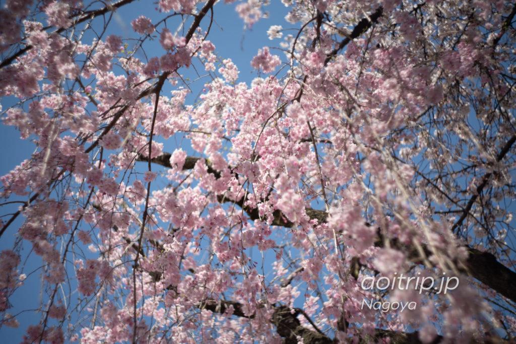名古屋城 西之丸の桜
