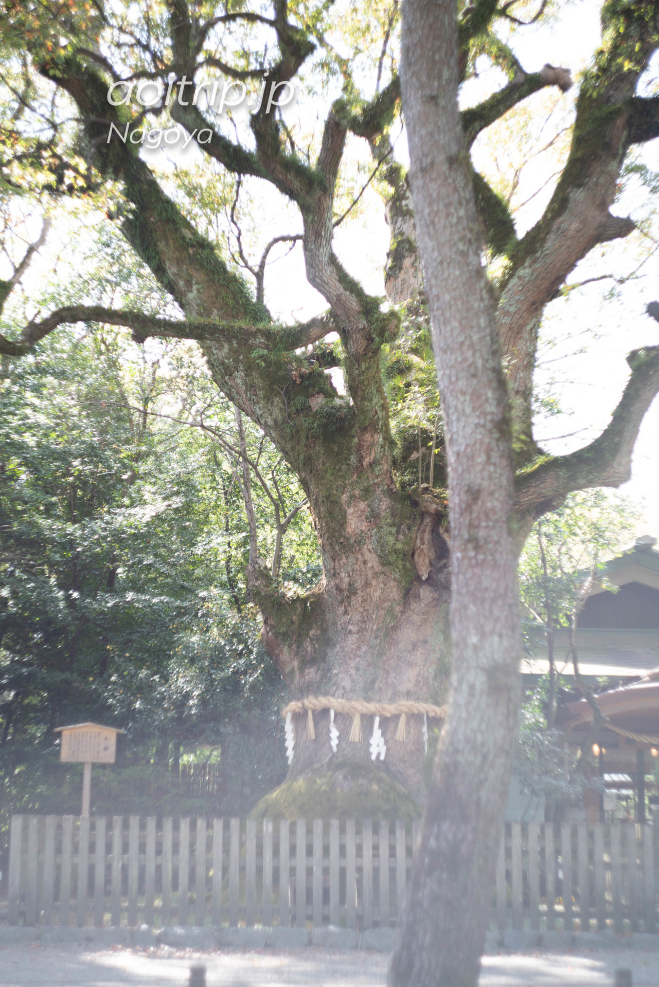 熱田神宮 Atsuta Jingu Shrine 大楠 Giant Camphor Tree