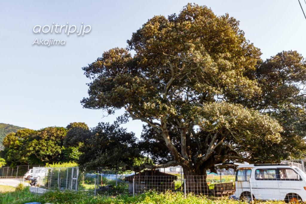 阿嘉島の御殿の木