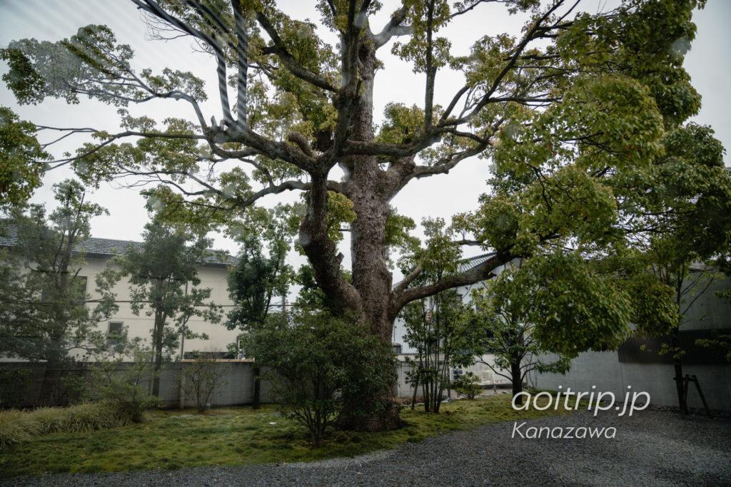 鈴木大拙館のクスノキ|D.T.SUZUKI MUSEUM, Kanazawa