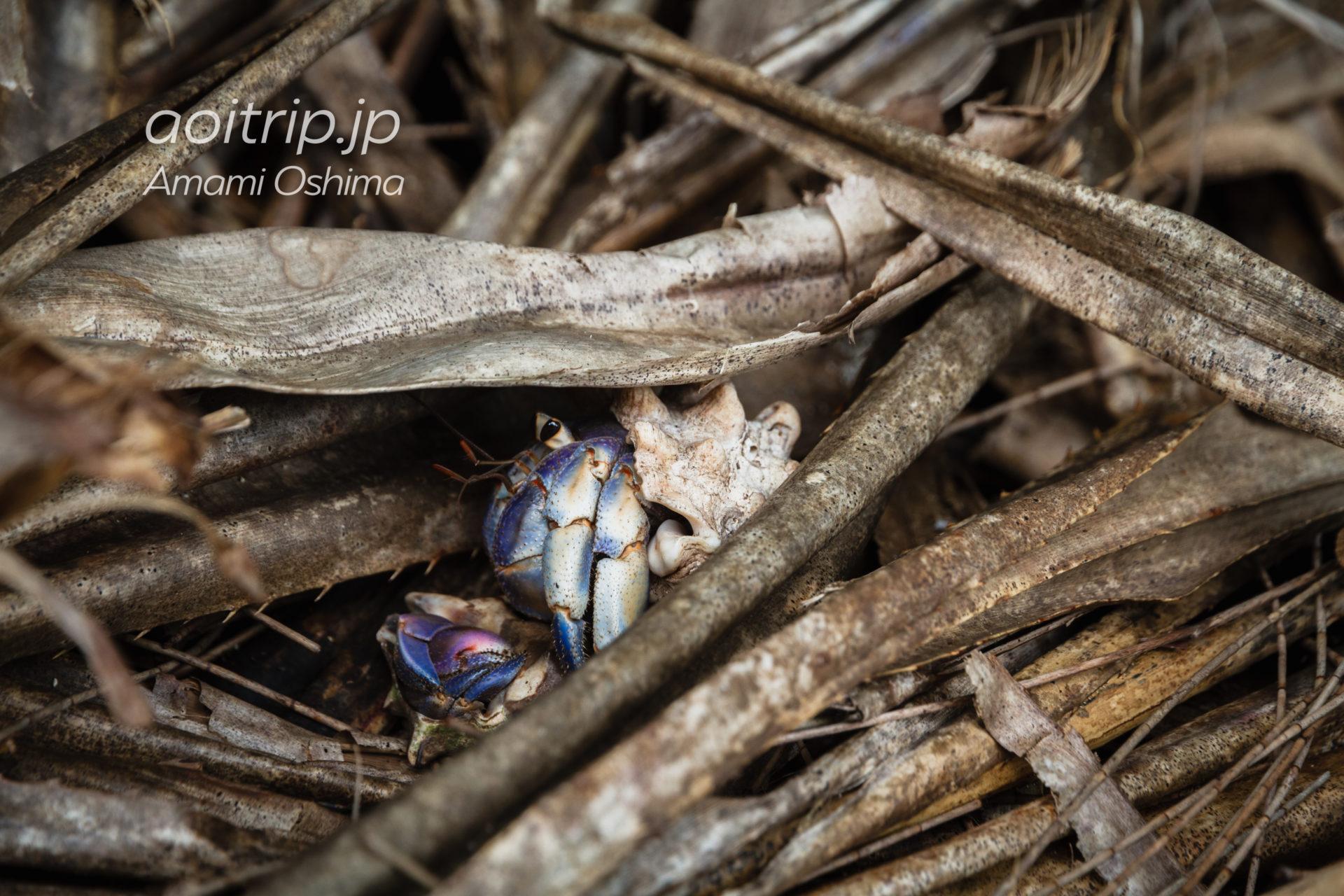 奄美大島の土盛海岸に生息する天然記念物オカヤドカリ