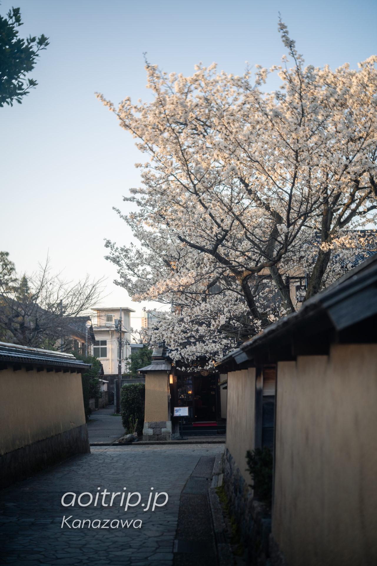 金沢 長町武家屋敷の庭 桜