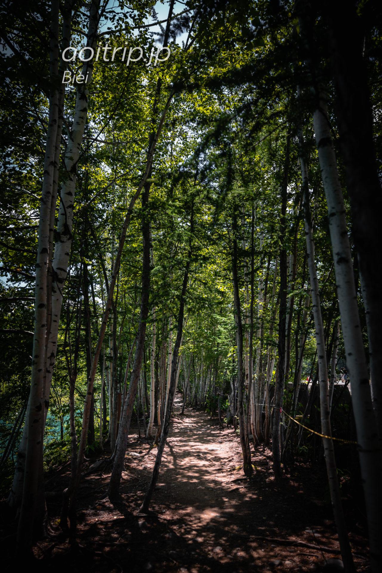 美瑛の青い池 白樺の林道