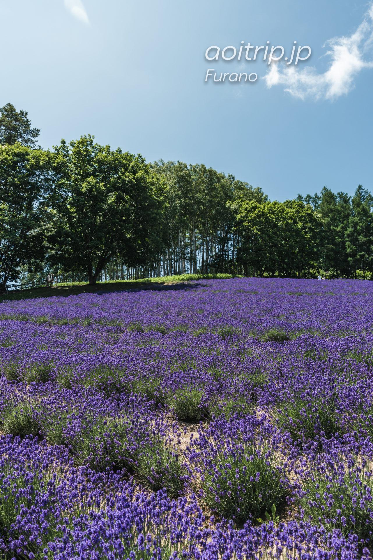 ファーム富田ラベンダー畑 Farm Tomita トラディショナル ラベンダー畑 Traditional Lavender Field