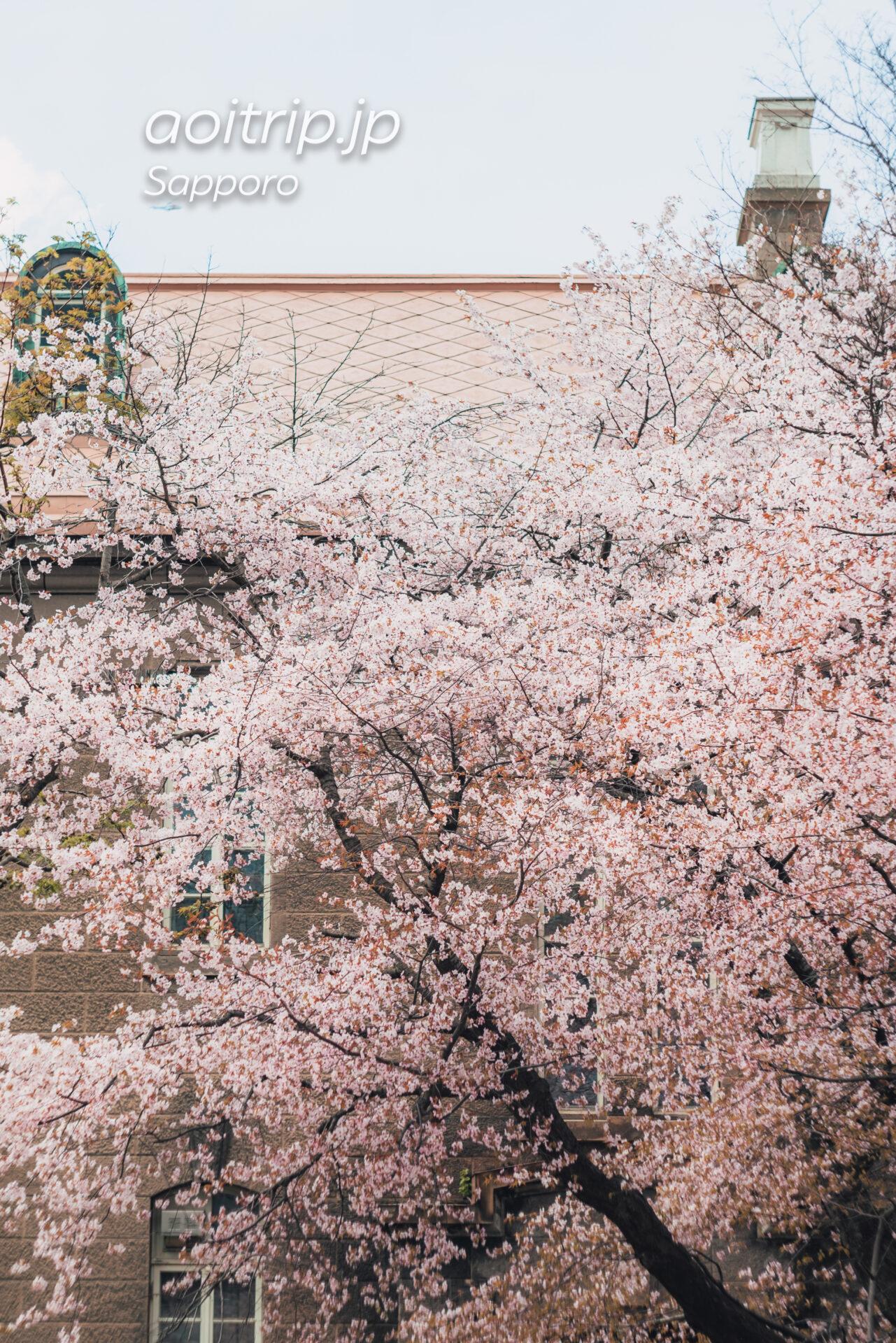 札幌市資料館前のエゾヤマザクラ