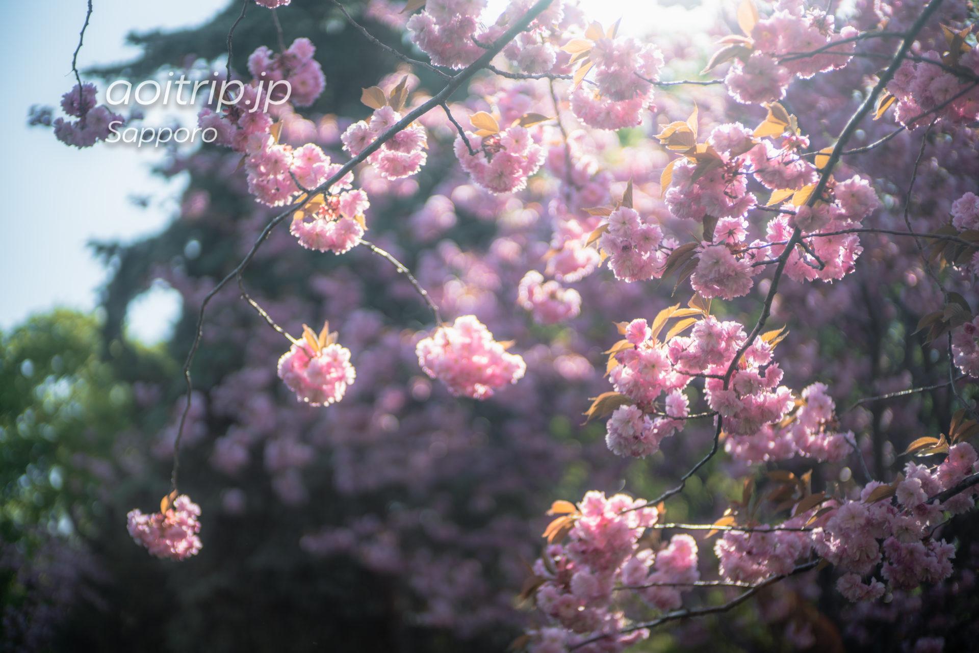 春の札幌・中島公園 ソメイヨシノと豊平館