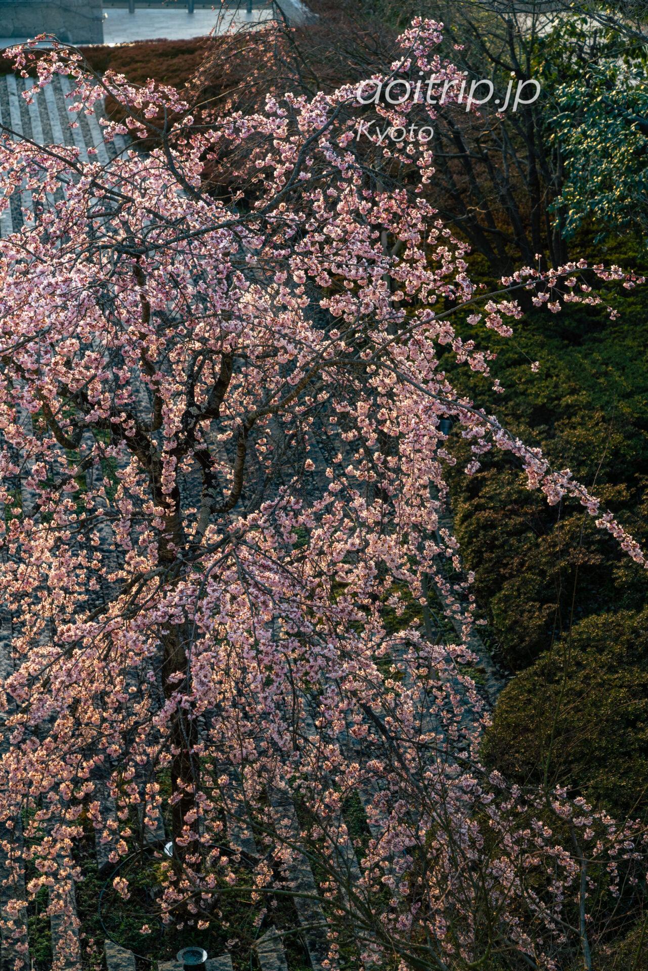 翠嵐ラグジュアリーコレクション プレジデンシャルスイートから望む桜