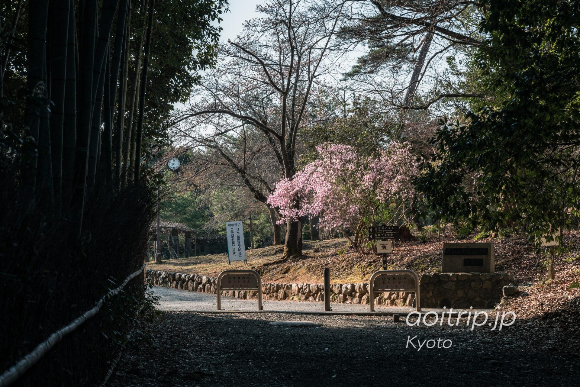 京都嵐山 亀山地区の桜