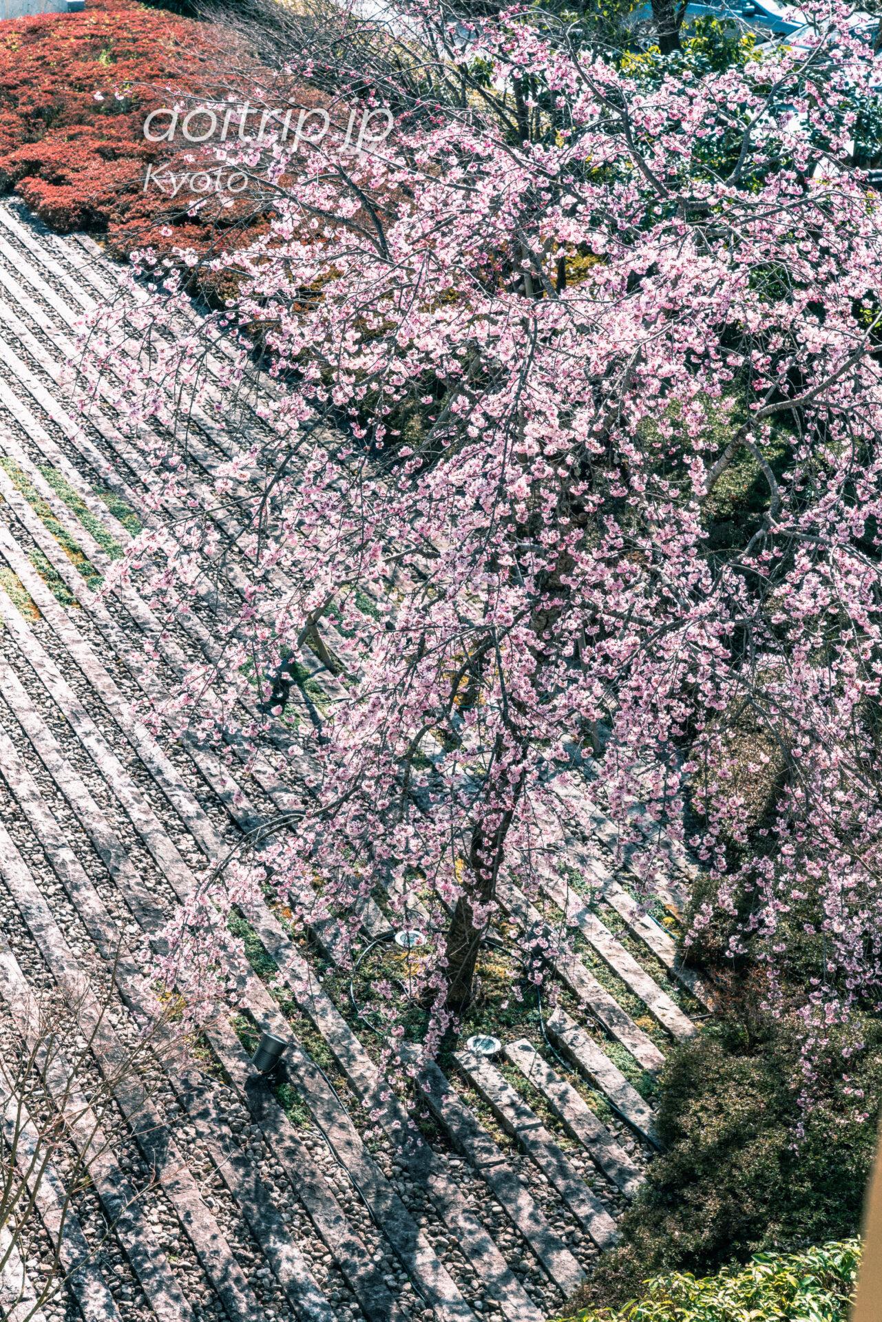 翠嵐(すいらん)プレジデンシャルコーナースイートから嵯峨嵐山文華館の枝垂れ桜を望む