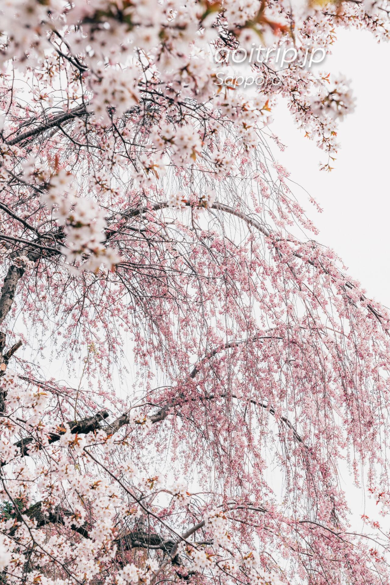 札幌 中島公園 日本庭園のシダレザクラとエゾヤマザクラ