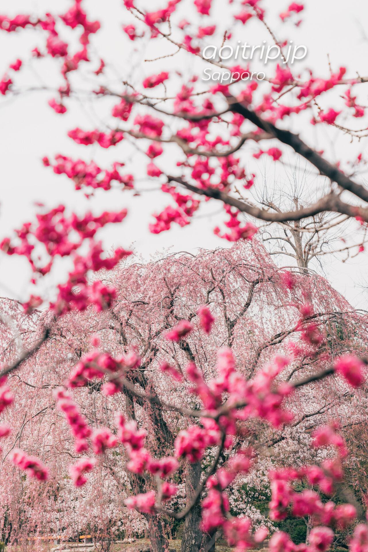 札幌 中島公園 梅越しのシダレザクラ