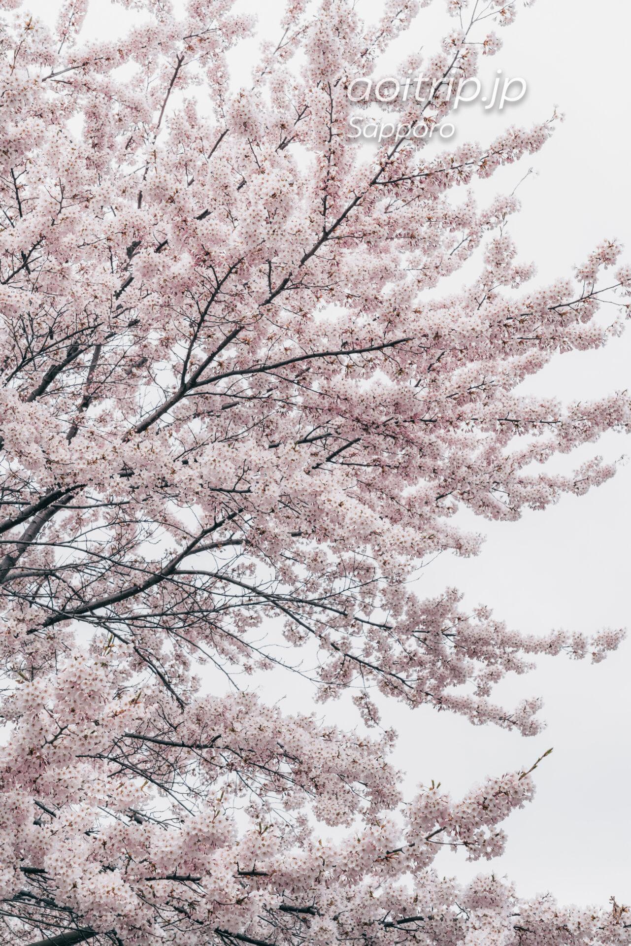 札幌パークホテル南側のソメイヨシノ並木