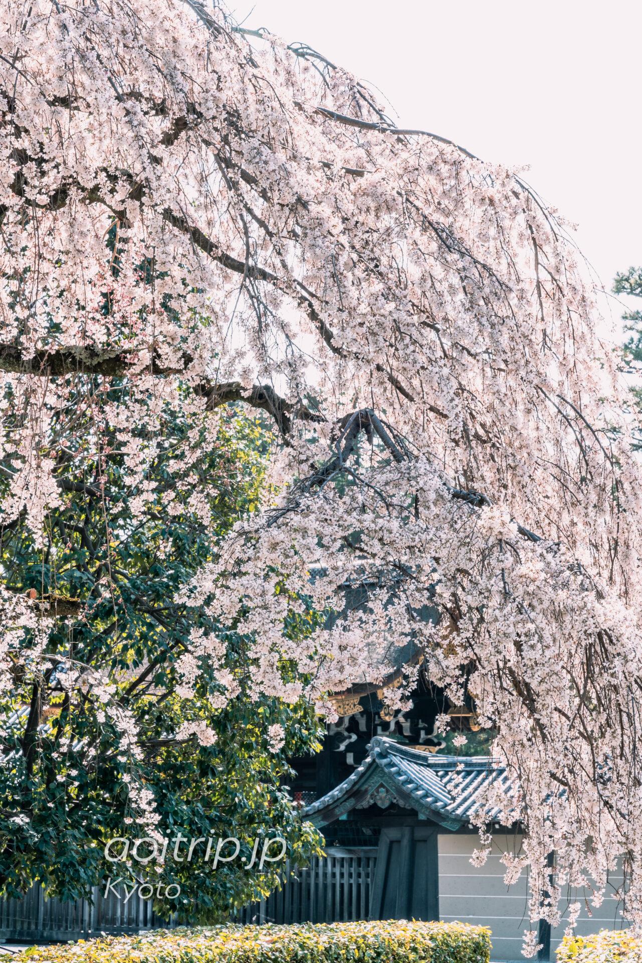 京都御所 近衛邸跡の枝垂れ桜