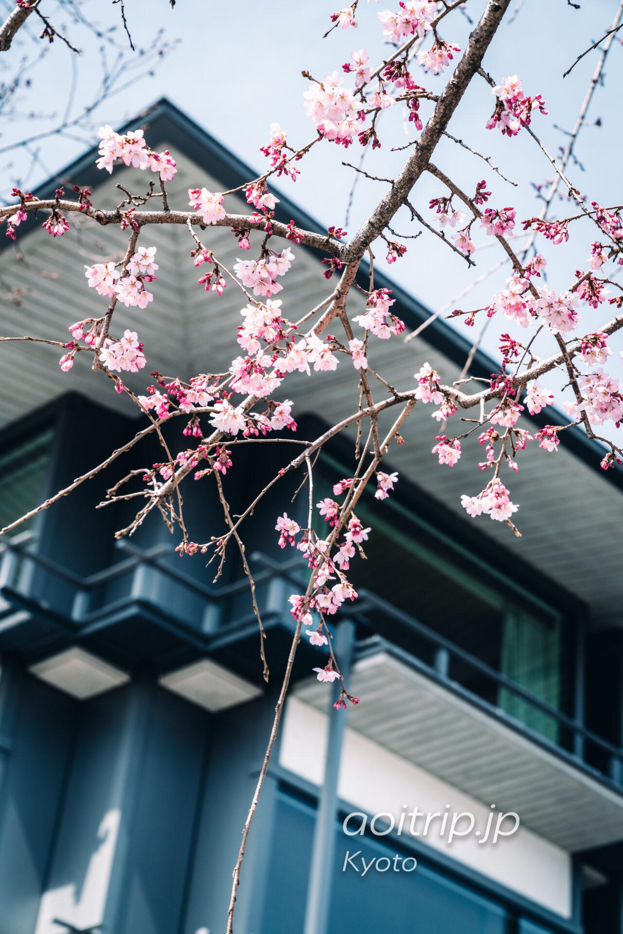 ザ リッツカールトン京都と枝垂れ桜