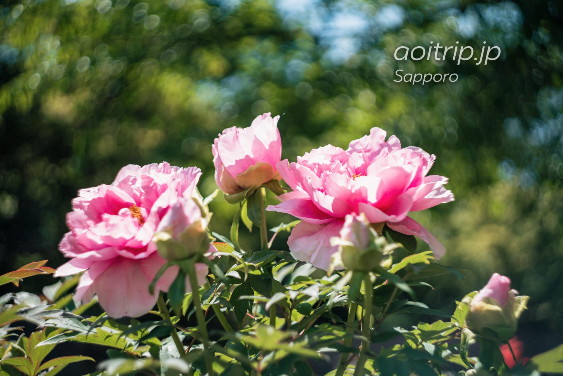 中島公園の日本庭園に咲く牡丹の花