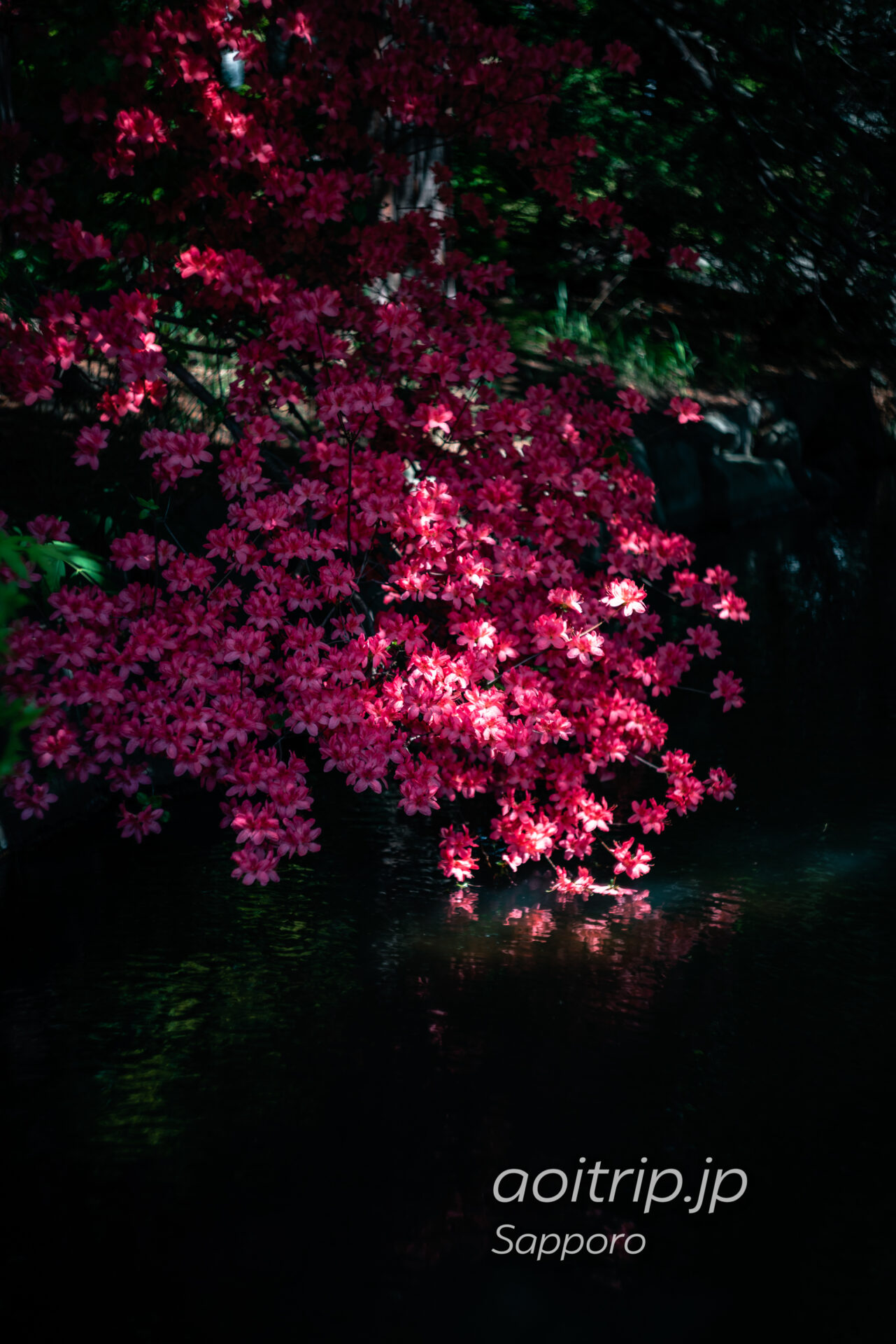 中島公園の日本庭園に咲くヤマツツジ