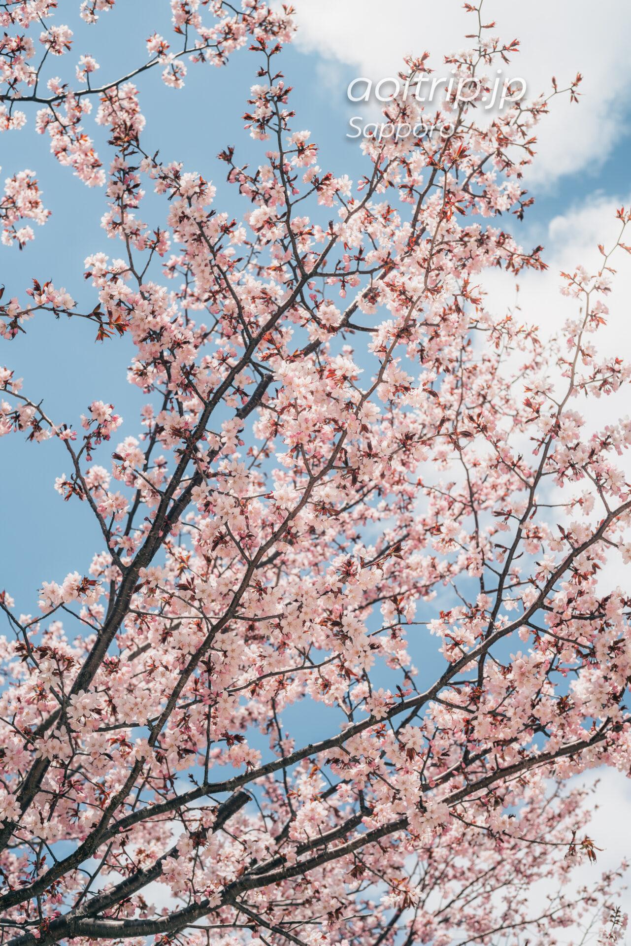 札幌 中島公園のエゾヤマザクラ