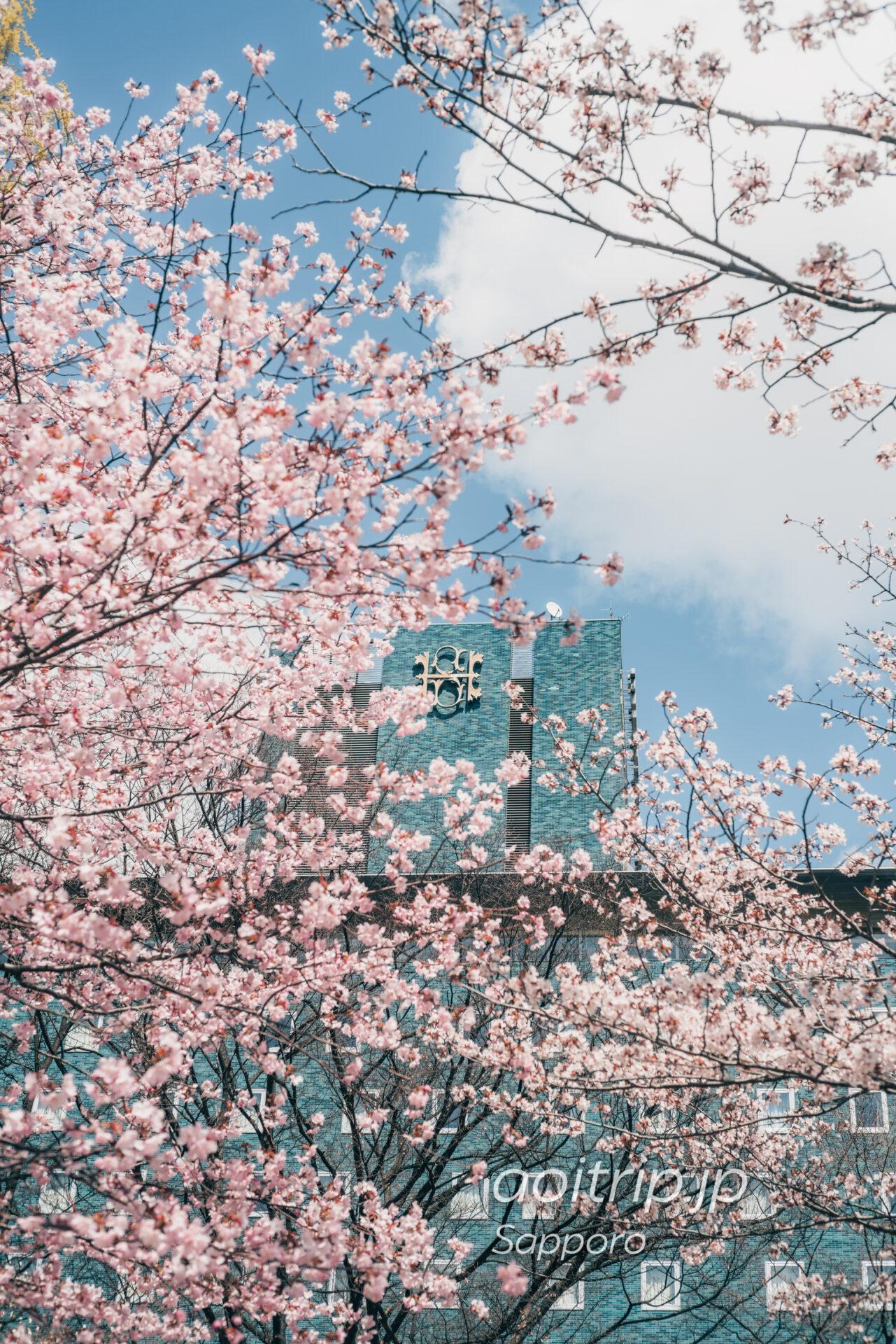 札幌パークホテル西側のエゾヤマザクラ