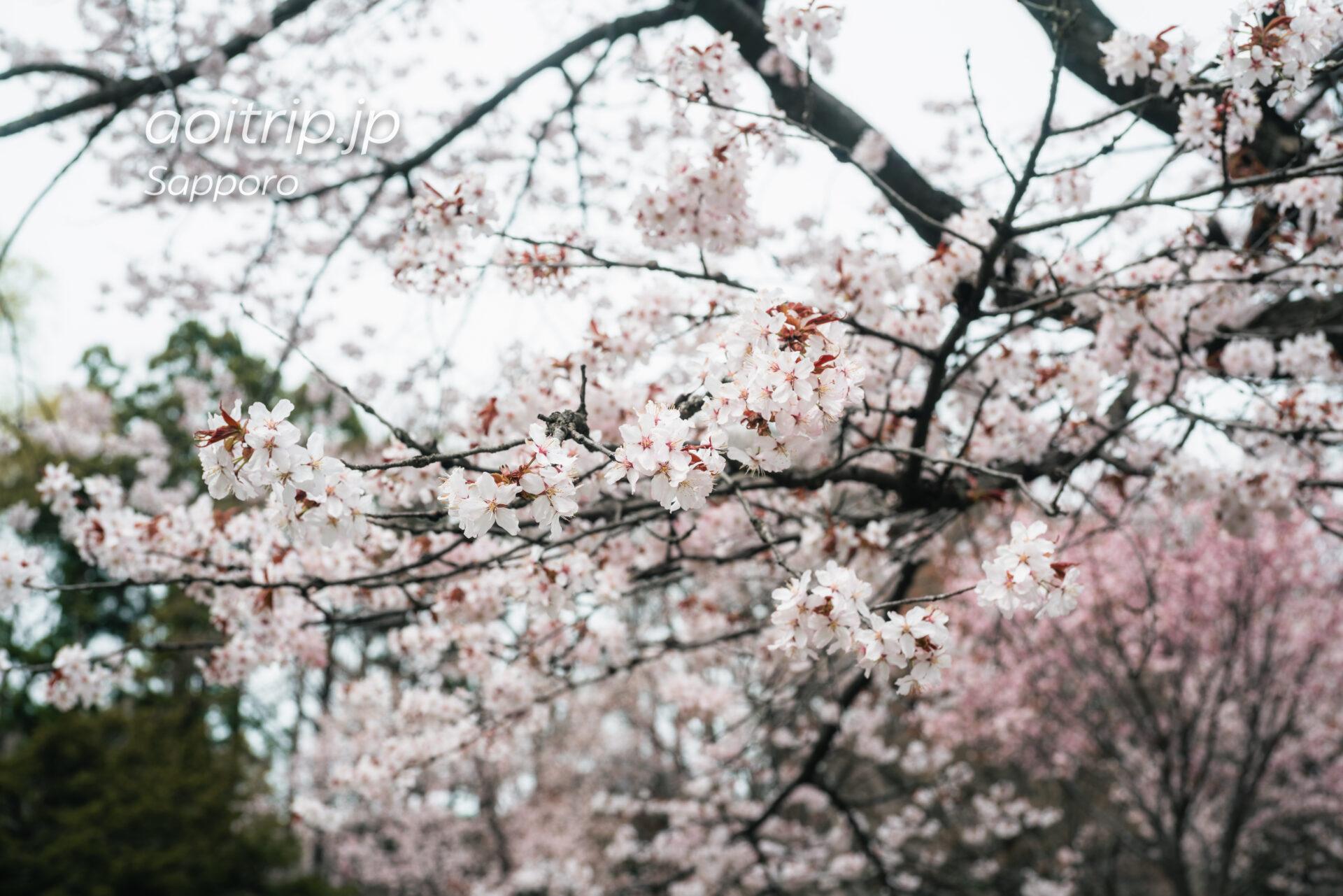 札幌円山公園の桜
