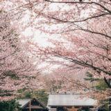 北海道神宮 表参道の桜並木