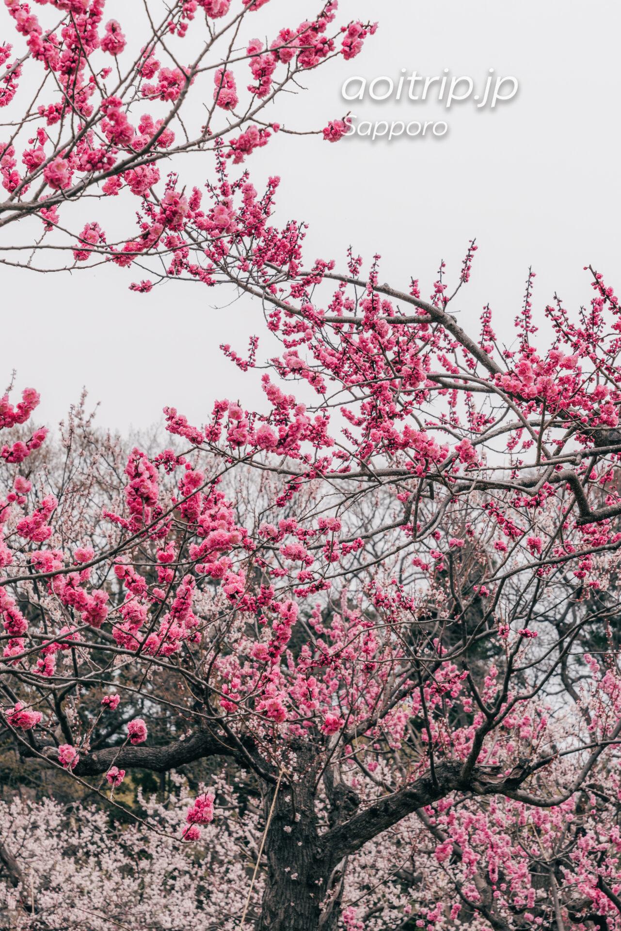 北海道神宮の梅林