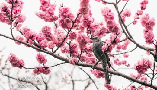 春を迎えた北海道神宮 桜と梅林 Cherry Blossoms in Hokkaido Jingu Shrine