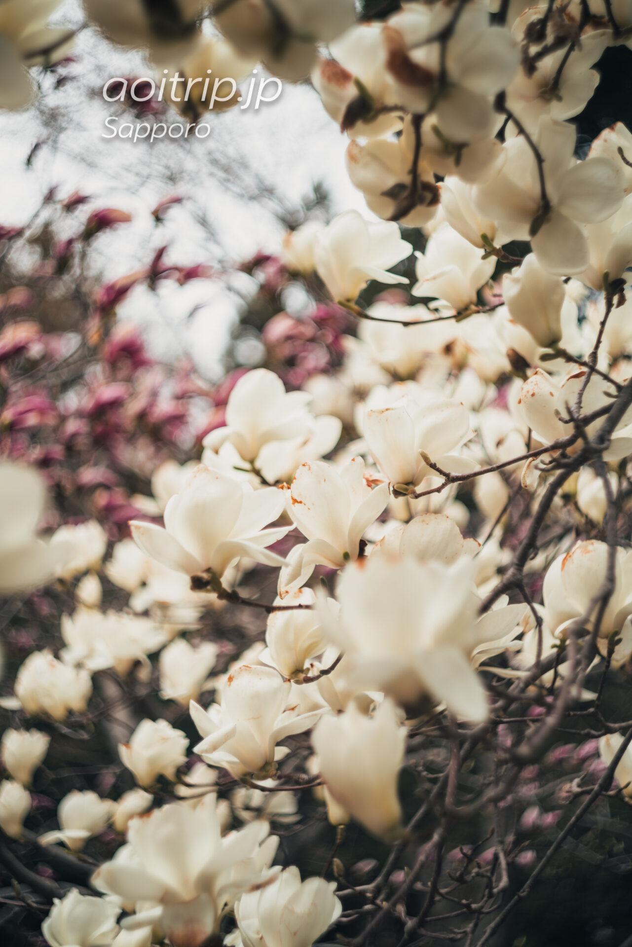 北海道神宮の木蓮
