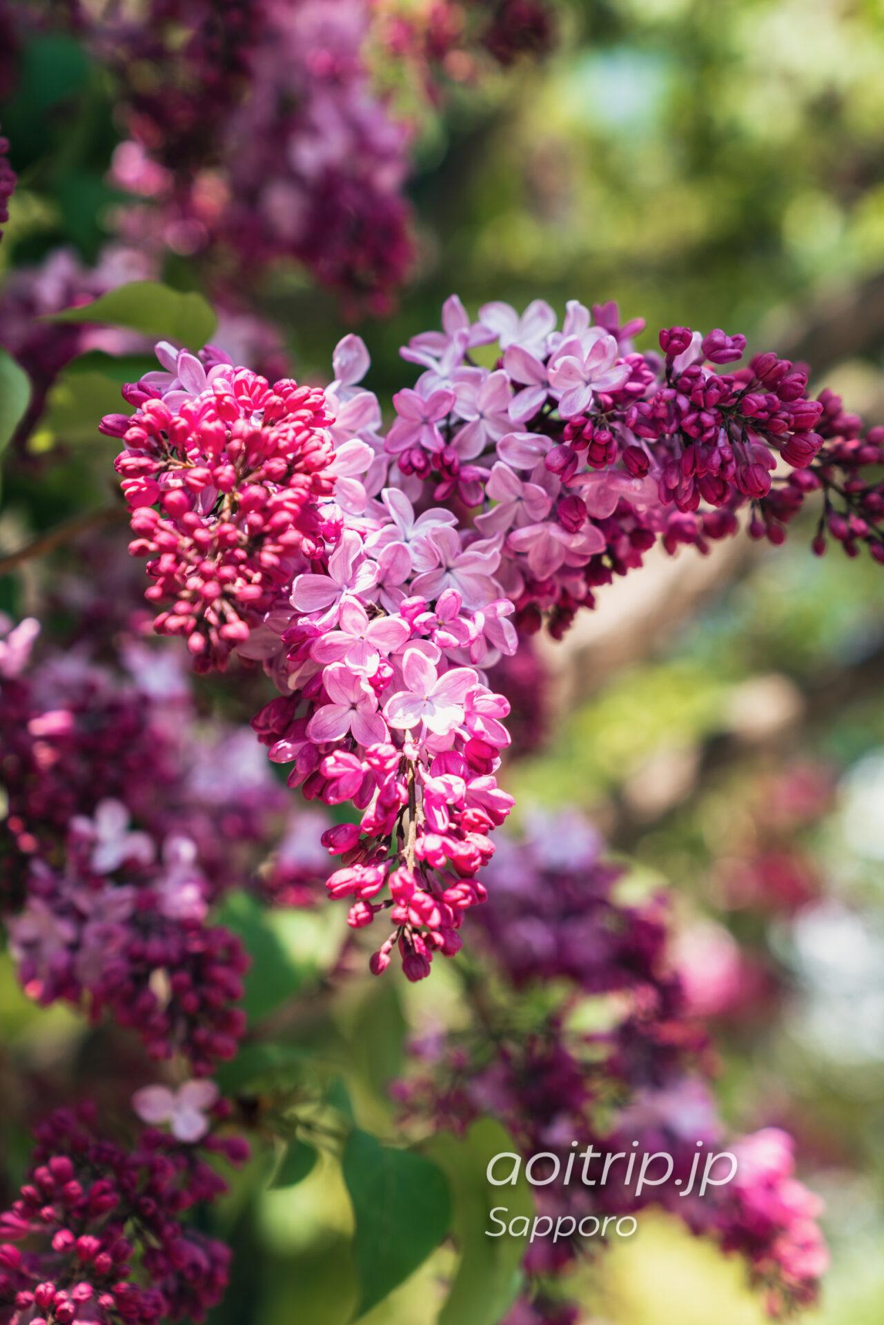 札幌大通公園 ライラックの蕾と花びら